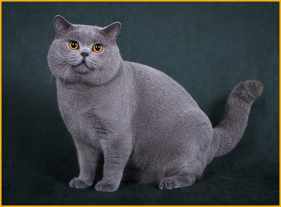 英短猫多少钱不能一概而论,英国短毛猫颜色不同_价钱就不同
