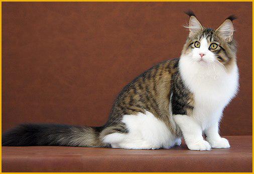 银虎斑缅因猫小时候图片也很好看,平均繁育价格1.5万左右