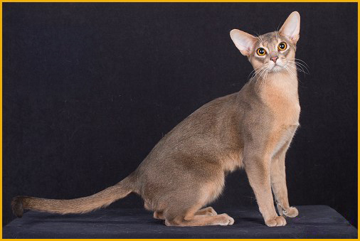 阿比西尼亚猫繁育一定要选好种猫,阿比猫好坏区分主要在于品相、性格
