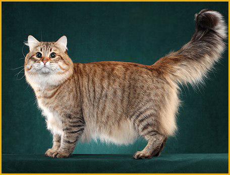西伯利亚森林猫品相详解电子书