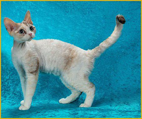 德文秃毛期大概会从2个月开始,德文卷毛猫两万一只很正常