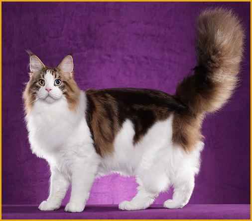 俄罗斯繁育缅因猫的猫舍不少,俄罗斯带缅因猫回国成本费用5~6千人民币