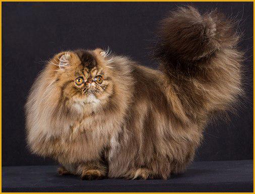 如何识别波斯猫?如何通过物理特征识别波斯猫?