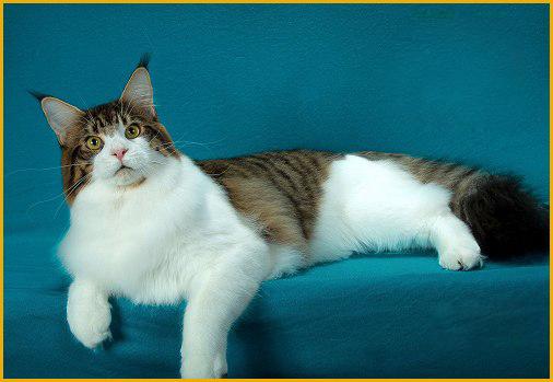 关于缅因猫怎么养_吃什么_吃多少的系列知识问答