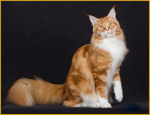 鉴定缅因猫品相很简单,但靠眼睛去分辨缅因猫纯不纯_是不够科学的