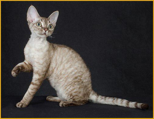 德文猫一天吃猫粮大概70~100g,德文卷毛猫公猫正常体重6~8斤