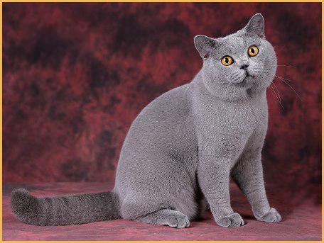 英国短毛猫很好养,性格安静,英短和布偶杂交容易基因缺陷