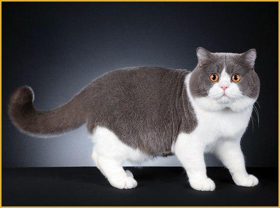 《挑选幼小英短蓝猫的关键是看品相,纯种英国短毛猫一般价格八千以上》