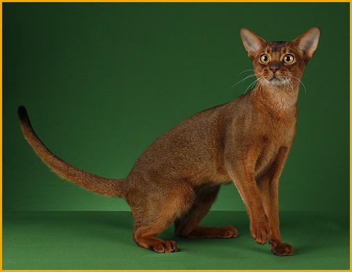 阿比西尼亚猫的四种颜色是指原始褐色、红色、蓝色、小鹿色