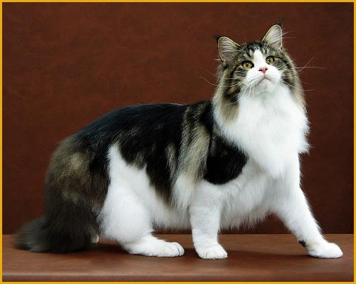 缅因猫品相详解电子书