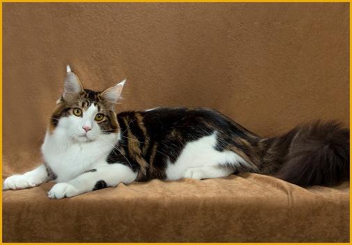 《漂亮的缅因猫是品相标准,颜色_花纹_长相都比较好的缅因猫》