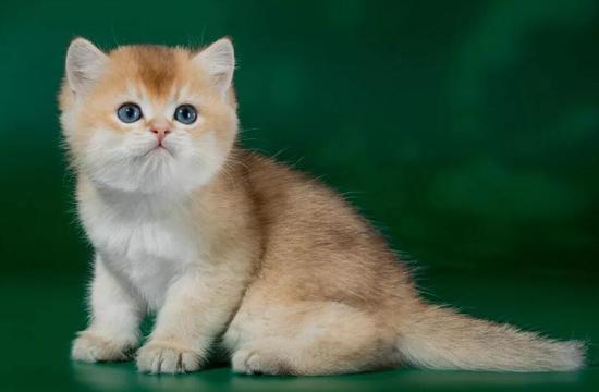 英国短毛猫的颜色可以分为6大类,金渐层中NY12最贵