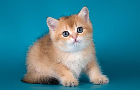 如何识别猫上的肿块?猫肿块可能的原因有哪些?