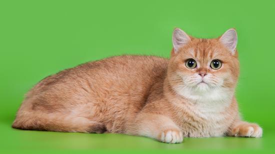大家选购英短金渐层猫,记得参照英国短毛猫的品相标准