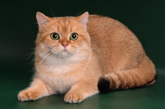 英短金渐层猫的价格要看具体的品相怎样,英短品相详解电子书