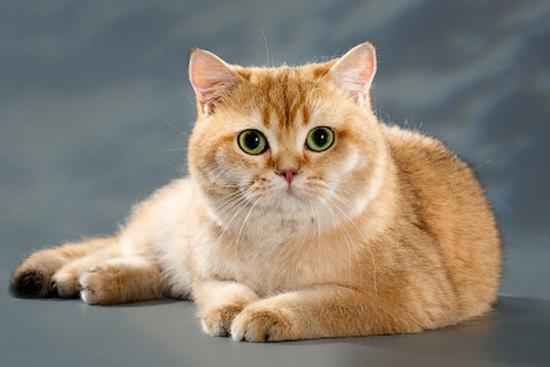 英短品相图解案例分析_英短猫品相鉴定实例详解_英国短毛猫猫舍知识