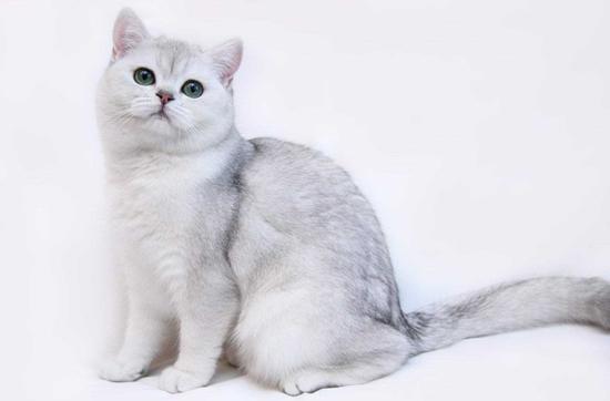 波斯猫、喜马拉雅猫脏脸综合征,波斯猫特发性面部皮炎病辅助疗法