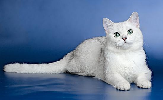 成年英国短毛猫跟幼猫的价格差不多,纯白英短市场上比较少