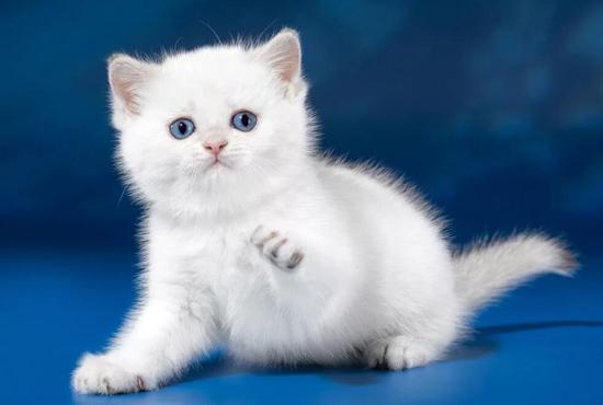英短金渐层_银渐层_蓝猫都能配,问题是:这样配好吗?