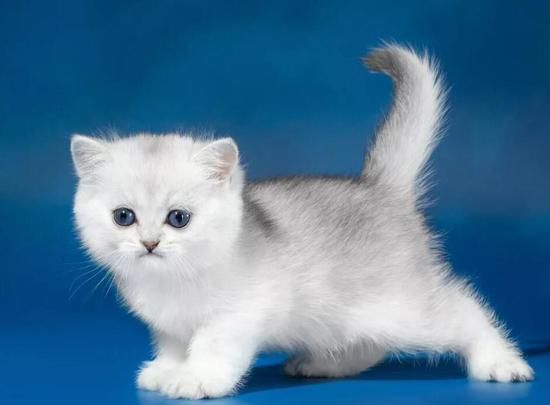 英短银渐层猫不爱叫唤,比较好养,喂养中不要养成挑食习惯