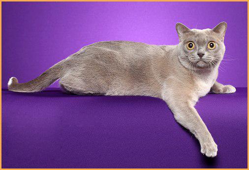什么是猫肛囊病?猫肛囊病诊断,猫肛囊病治疗